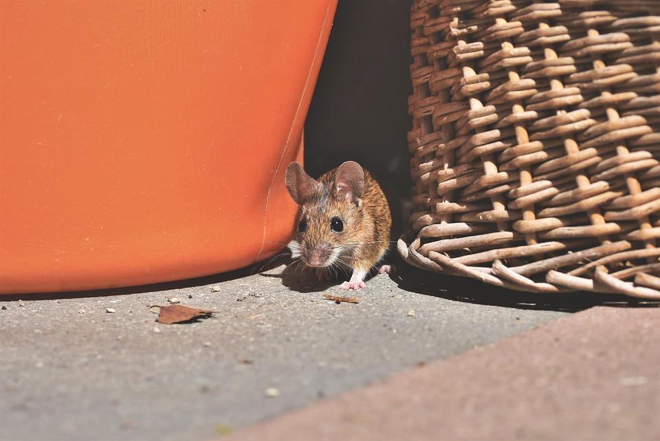 Que dit l'ordonnance sur les rats de la ville de Vienne ?